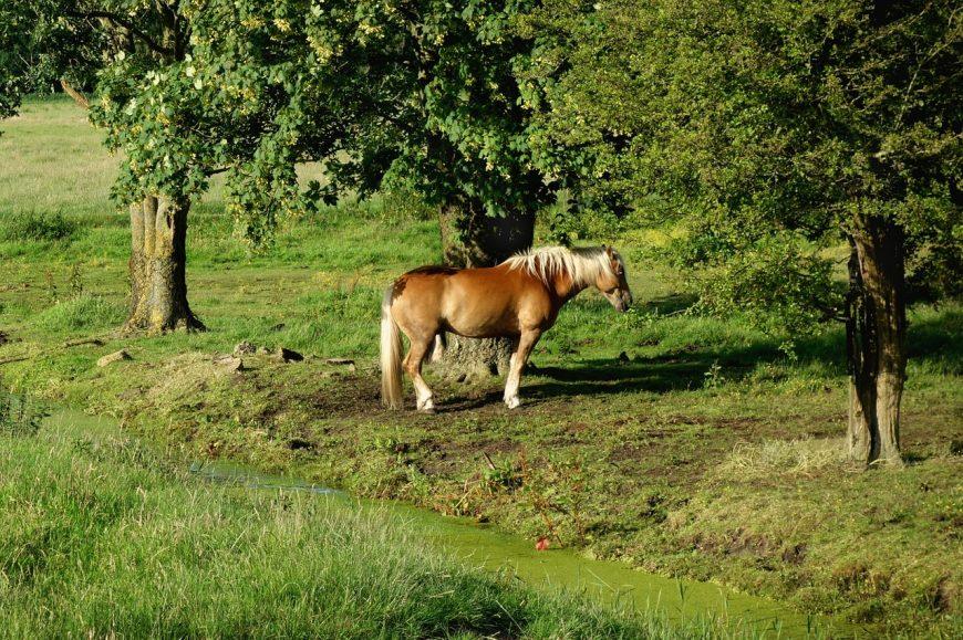 Pferdebeschwerden:Ursachen sind unklar
