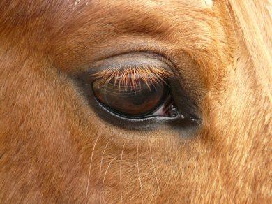 Pferd hatte eine Augenentzündung